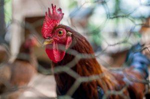 """Vogelgrippe: Auch """"blede Henna"""" müssen in Bayern im Stall bleiben!"""